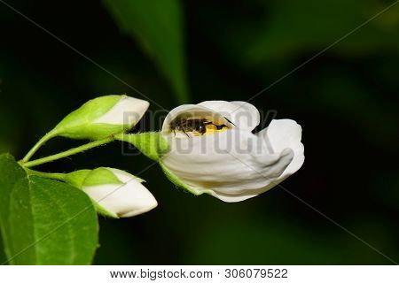 Close-up Of A Small Gray Bee Macropis Fulvipes Jasmine Jasminum Officinale Sleeping In A White Flowe