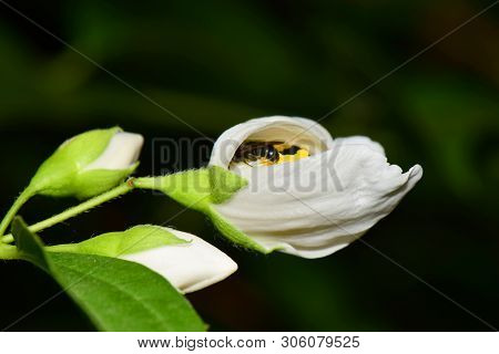 Macro Of A Small Bee Macropis Fulvipes Jasmine Jasminum Officinale Sleeping In A White Flower In The