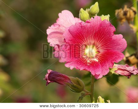 Red Hollyhock (althaea Rosea) Blossoms On A Summer Day