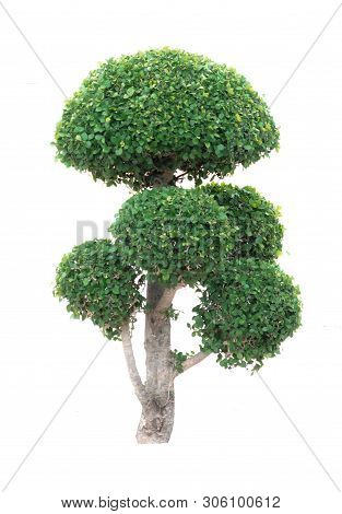 Ficus Annulata Blume Tree In Concrete Plant Pot Isolated On White Background With Clipping Path (wee