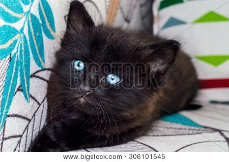 Portrait Of A Little Black Cat With Blue Eyes Resting On Armchair At Home.