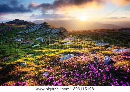 Gorgeous landscape with charming pink rhododendron flowers at Carpathian mountains. Beautiful nature background and perfect summer wallpaper