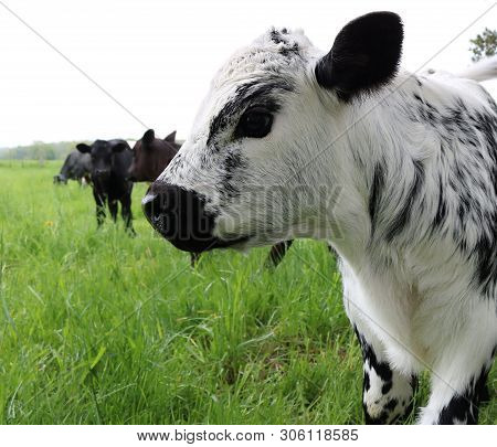 Close-up Profile Of Head And Face Of Newborn Speckled Roan Calf With Black Ears And Nose