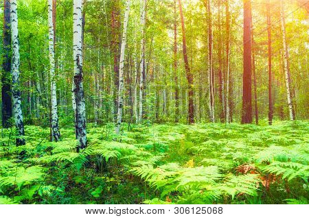 Summer forest landscape. Forest trees and fern plants lit by soft sunlight. Forest nature in sunny evening, diffusion filter