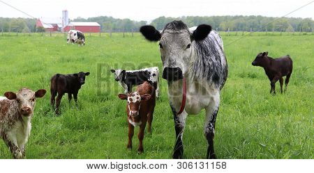 Black And White Speckled Roan Cow Standing With Group Of Different Colored Calves