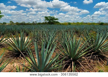 The Field Of Agave Planted For The Manufacture Of Tequila