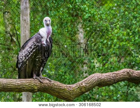 Ruppell's vulture sitting on a branch and looking in the camera, critically endangered scavenger bird specie from Africa poster