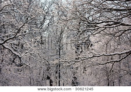 Intertwined Snow-Covered Branches
