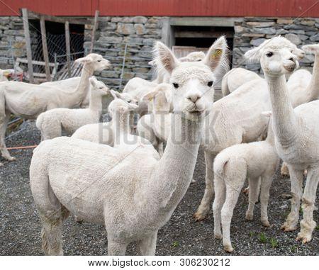 White Alpaca Lamb