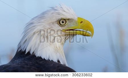 The Bald Eagle Is A Bird Of Prey Found In North America. Bald Eagles Are Not Actually Bald; The Name