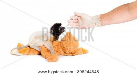 Soa, 4 months old, Crowned Sifaka, feeding from syringe against white background