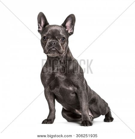 French Bulldog , 6 months, sitting against white background
