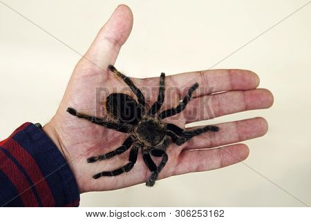 A Large Black Spider On The Palm Of A Mans Hand. A Man Holding A Spider Tarantula.