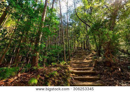Wild cryptomeria forest of the Kumano Kodo pilgrimage trail, Japan