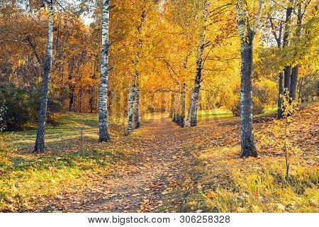 Birch alley in the sunny autumn park