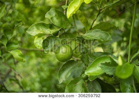 The Lemon In The Garden Of Thailand
