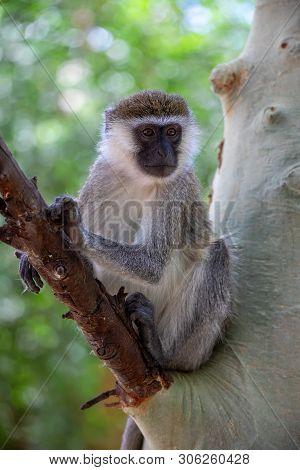 Vervet Monkey In Lake Chamo National Park, Arba Minch, Ethiopia Wildlife