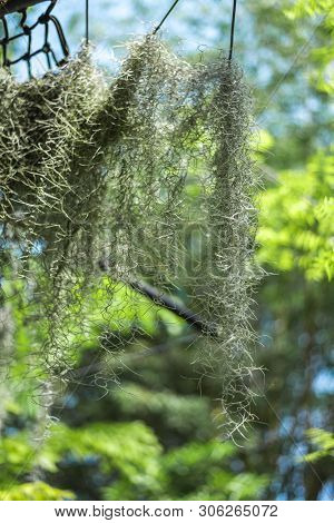 Tillandsia Usneoides Or Spanish Moss Is An Epiphytic Flowering Plant In The Garden Of Plants And Spi