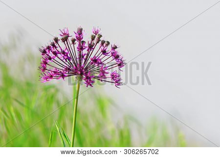 Close up shot of Allium flower
