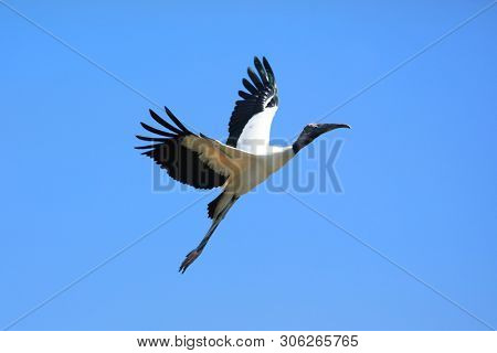 Black necked Stork in flight
