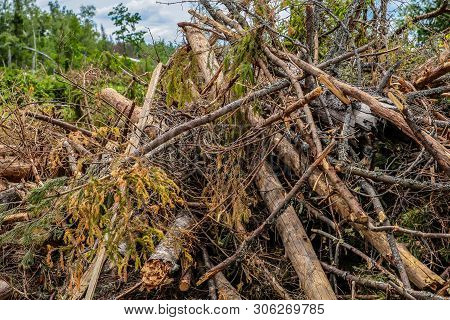 Bunch Dry Old Branches Trunk Spruce Impassable Blockage Cleaning The Forest Bad Weather