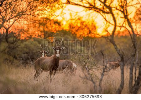 A Blesbok (damaliscus Pygargus Phillipsi) Standing In The Grass, Looking At The Camera At Sunset, Wi