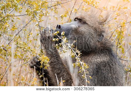 A Large Male Cape Baboon (papio Ursinus) Eating Leaves From A Twig In The Kruger National Park, Sout