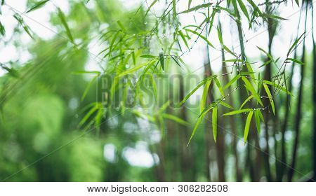 Bamboo Forest Bamboo Leaves And Water Drops In The Rainy Season Bokeh Bamboo Background