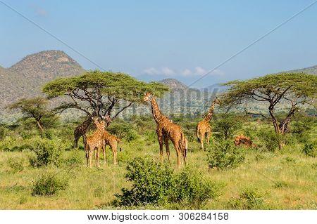 Flocks Of Giraffes In The Savannah Of Samburu Park In Central Kenya