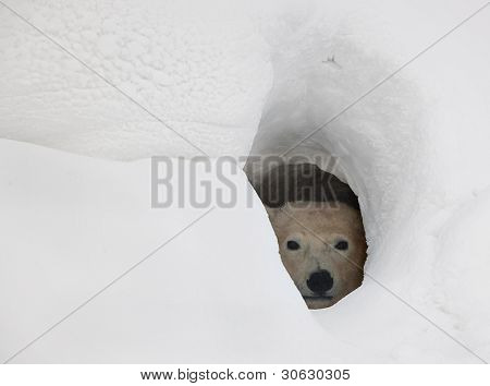 The Polar Bear In A Den