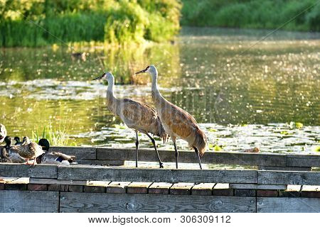 The Sandhill Cranes, Seeing The Lack Of Humans Nearby, Board The Pier And Eat The Leftover Birdseeds
