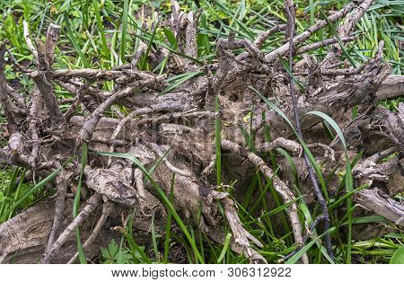Snag In Landscape Design Of The Park. Old Tree Roots. Snag On The Background Of Nature.