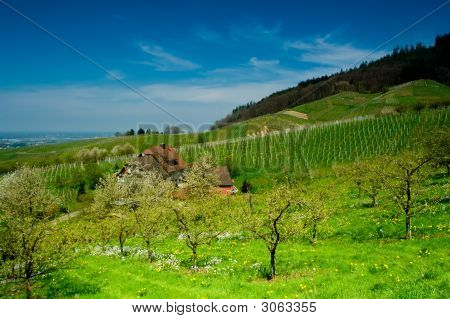 Vineyard In Schwarzwald