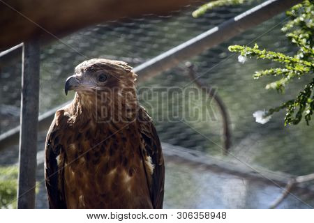 This Is A Close Up Of A Black Kite In The Sied View