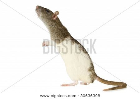 Courious rat standing on a white background