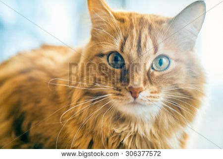 Portrait of Brown Cat, Red Tabby Male Cat, Ginger Long Hair Cat, The Fluffy Pet, Young Orange Striped Kitty