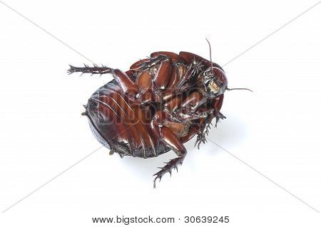 Australian giant burrowing cockroach playing dead on a white background.