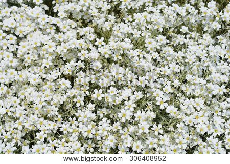 Boreal Chickweed White Flowers - Latin Name - Cerastium Biebersteinii
