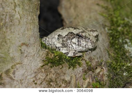 Gray Tree Frog (Hyla versicolor) sleeping in a tree poster