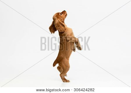 Pure youth crazy. English cocker spaniel young dog is posing. Cute playful white-braun doggy or pet is playing and looking happy isolated on white background. Concept of motion, action, movement. poster