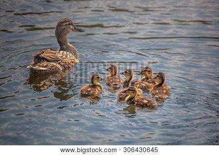 Cute Ducklings Following Mother,duck Babies,symbolic Figurative Harmonic Peaceful Animal Family, Clo
