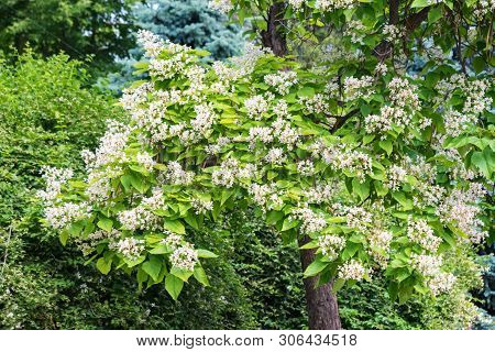 View Of Blooming Catalpa Bignonioides Tree With White Flowers