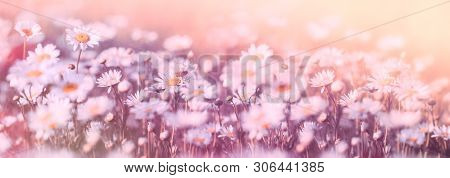 Daisy Flower, Wild Daisy Flowers Flowering In Meadow, Beautiful Landscape