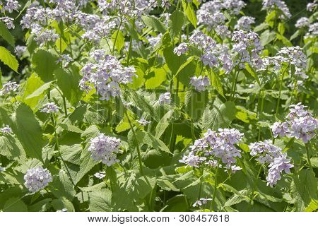 Blooming Lunaria Rediviva Medicinal Plant Of The Family Brassicaceae. White Purple Flowers On Long S