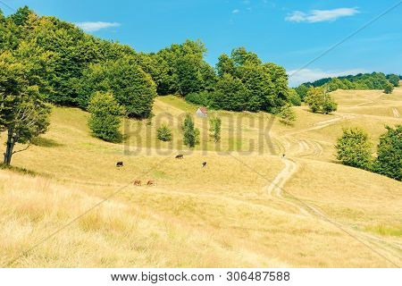 Country Road Winding Uphill Through Meadow. Cow Herd Grazing Weathered Grass On Pastures. Primeval B
