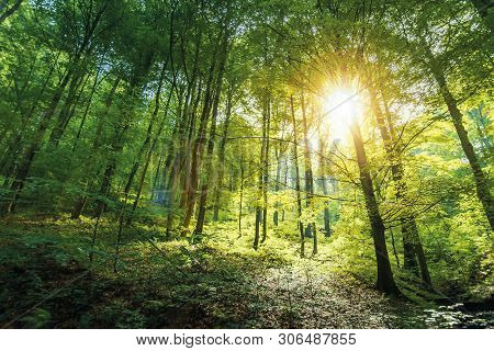Sunlight In Primeval Beech Forest. Beautiful Summer Nature Background Of Vihorlat National Park In S