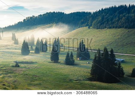 Foggy Sunrise In Mountains. Beautiful Countryside Scenery With Sheep Pasture. Tall Spruce Trees On T