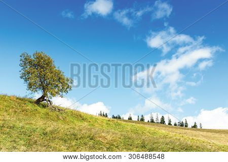 Deciduous Tree On The Grassy Hill. Spruce Forest In The Distance. Early Autumn Sunny Weather, Beauti