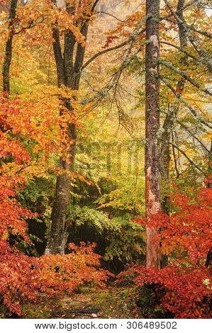 Colorful Scenery Of A Beech Forest In Autumn. Vivid Background Of Wet Foliage After The Rain