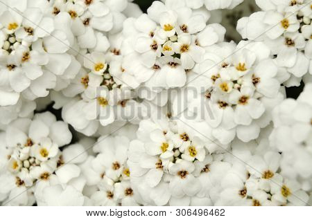 White Flowering Evergreen Candytuft, A Perennial Plant Of The Brassicaceae Family